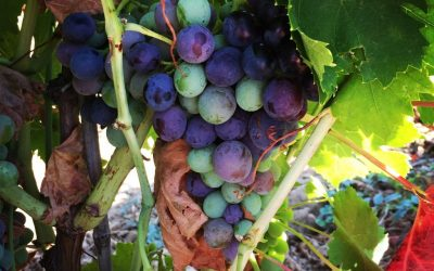 Grapes on the Vine 400x250 - Blog