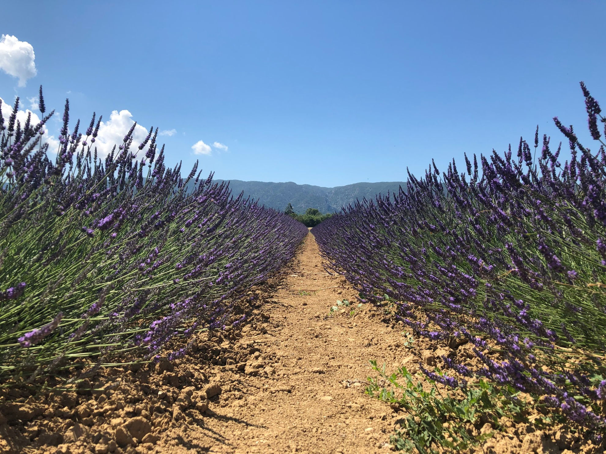 Lavender Fields on our way to Gordes